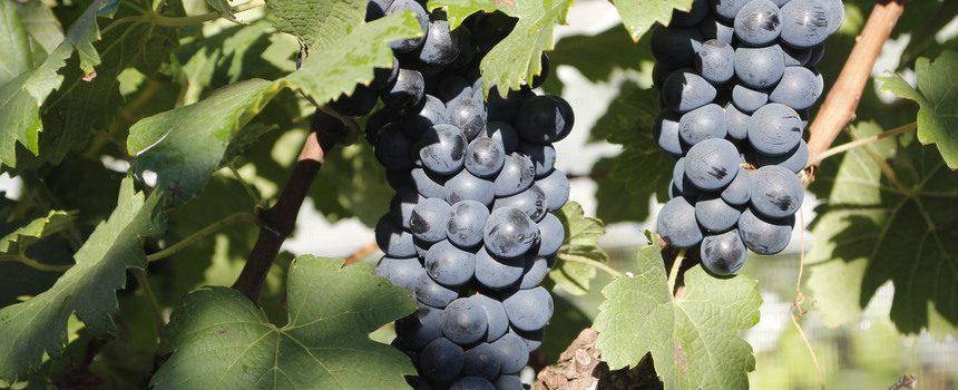 Parceria entre Epamig e produtores de vinho rende prêmio internacional